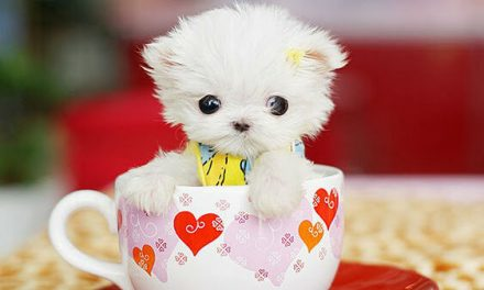 Los adorables perros toy. ¡Cuidado! ¿Buscas una mascota o un juguete?
