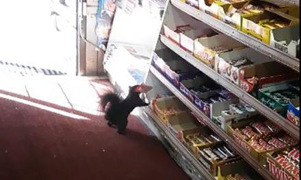 Una ardilla roba en una tienda durante 5 años
