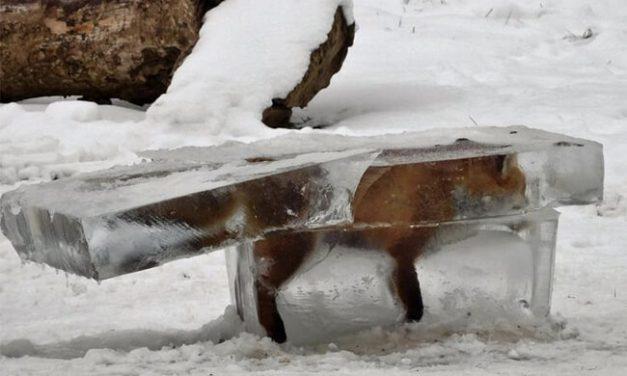 Viene el frío polar, no te quedes congelado como este zorro