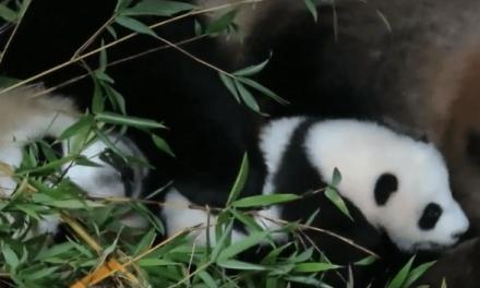 Chulina es la primera hembra de oso panda girante