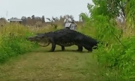 Un cocodrilo gigante pasea por Florida