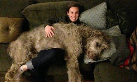Perros que son más grandes que sus dueños