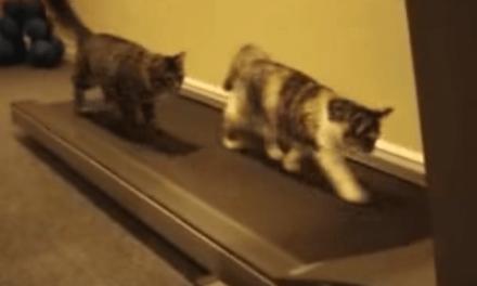 Los gatos también necesitan entrenar