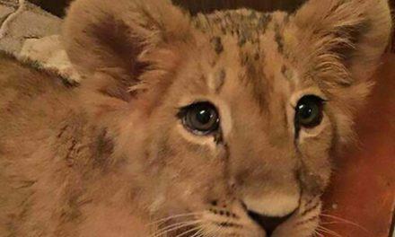 Un leona vive como mascota de unos rusos y la quieren vender