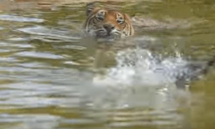 El pato invencible deja en evidencia a un tigre Sumatra