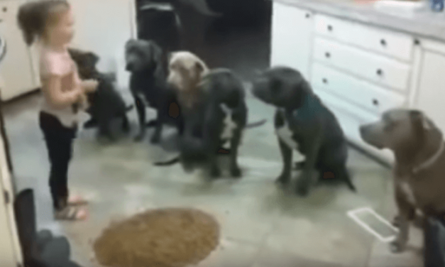 Una niña de 4 años domina a 6 pitbulls macho