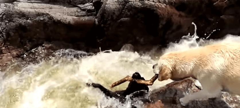 Un perro rescata a otro de morir ahogado