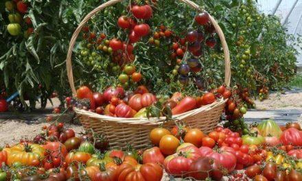 Los tomates de hoy en día ya no saben al tomate tradicional