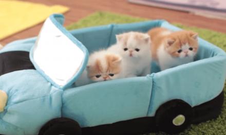 Los gatos aprenden a conducir desde muy pequeños
