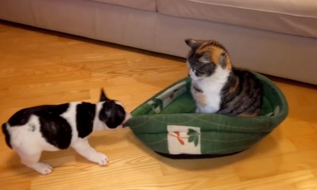 Perros a los que los gatos les han robado su cama
