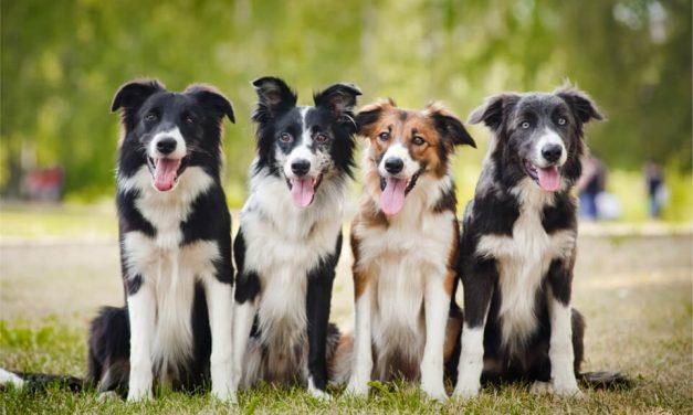 Conoce las razas de perro más inteligentes
