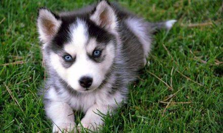 Los perros de diseño han nacido por mezclar razas