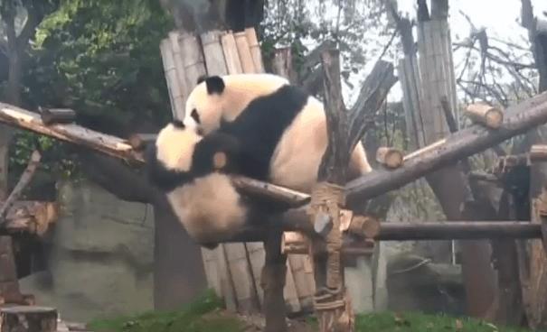 Dos osos panda luchan por estar en lo más alto