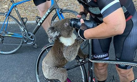 Desperate koala stops cyclist and clings to her hand while gulping water