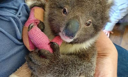 Cadbury promises to donate proceeds from Caramello Koala and Freddo sales to help animals affected by Australia's devastating bushfires