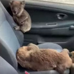 Teenagers Fill Car Full Of Koalas To Save Them From Bushfires